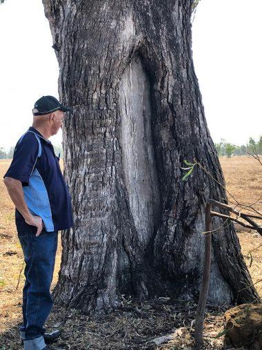 Darumbal Scarred Tree | Darumbal Enterprises